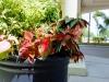 Inviting Entry Plantings: Caladiums