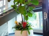 Ficus Lyrata With Underplanting