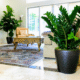 Live houseplants ZZ plant and fiddle leaf fig tree in private residence