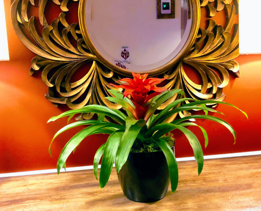 Single guzmania decorative plant