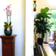 Orchid and ficus tree in home, professionally staged live plants