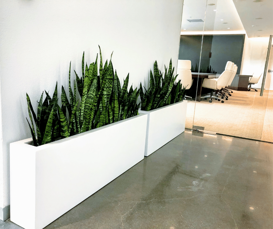 snake plant in white modern box