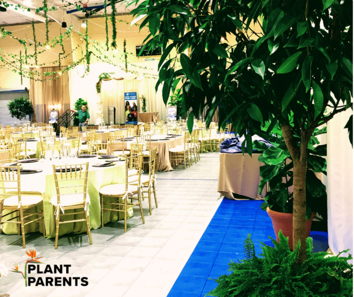 Ficus Tree With Lights Plant Rental