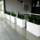 Tall white planters in office with snake plants